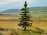 Nordic Fir Tree